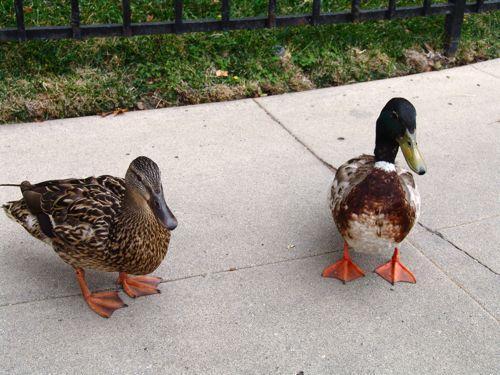 ducks01.jpg